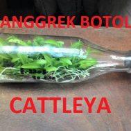 Tanaman Anggrek Botol Cattleya Hibrida