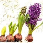 Umbi Hyacinth Mixed