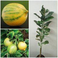 Tanaman Jeruk Lemon Variegata