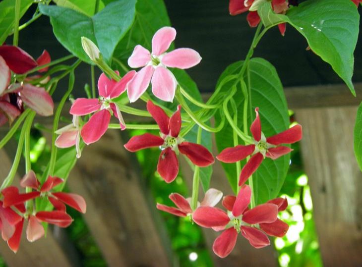 Daftar tanaman obat lengkap beserta gambar dan khasiatnya ceguk atau dikenal pula dengan nama melati belanda udani bidani kacekluk tanaman obat ini tumbuh merambat dan menghasilkan bunga berwarna merah muda ccuart Image collections