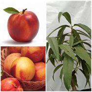 Tanaman Nektarin (Peach Nectarine)