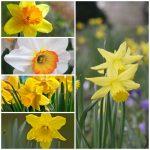Umbi Daffodil Mixed