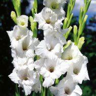 Umbi Gladiol Putih