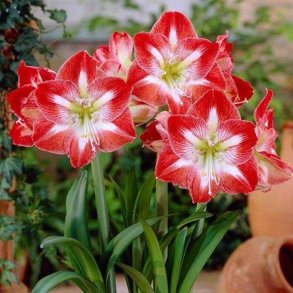 Bunga Amarilis Gambar Rose Red Com