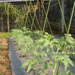 Plant Stake (Ajir Tanaman Modern) 11 x 1800 mm