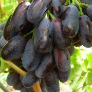 Tanaman Anggur Giovanni 15-20 cm