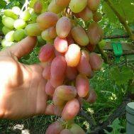 Tanaman Anggur Transfiguration 15-20 cm