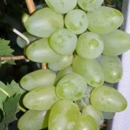 Tanaman Anggur Bazhena 15-20 cm