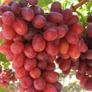 Tanaman Anggur Crimson seedless 15-20 cm