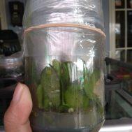 Bibit Anggrek Toples Phalaenopsis (Bulan) – 8-10 Pcs