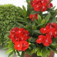 Benih Dianthus Chiba Scarlet 5 Biji – Non Retail