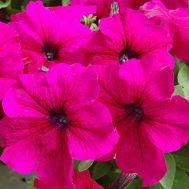 Benih Petunia Limbo Burgundy 4 Biji – Non Retail
