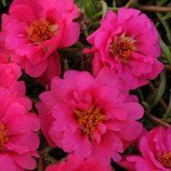 Benih Portulaca Happy Trails Fuchsia 4 Biji – Non Retail