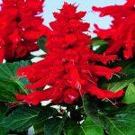 Benih Salvia Red Alert 5 Biji – Non Retail