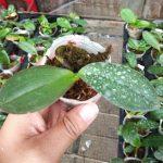 Seedling Anggrek Bulan / Phalaenopsis (Warna Acak)