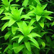 Tanaman Aquascape Tonina Fluviatilis – 3 Pcs