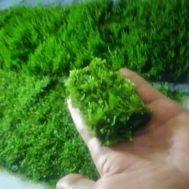 Tanaman Aquascape Moss Flem Lempeng Pakis