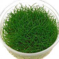 Tanaman Aquascape Dwarf Hairgrass – 3 Pcs