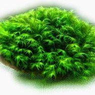 Tanaman Aquascape Moss Fissiden Di Batu – 3 Pcs