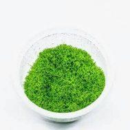 Tanaman Aquascape Utricularia Graminifolia