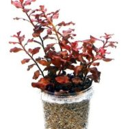 Tanaman Aquascape Ludwigia Sp Red – 5 Pcs