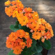 Tanaman Calandiva Orange