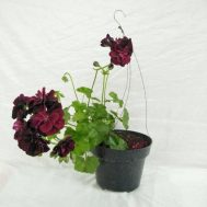 Tanaman Geranium Dark Red