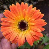 Tanaman Gerbera Orange