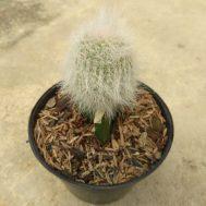 Tanaman Kaktus Old Man