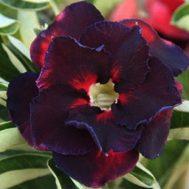 Benih Adenium Tumpuk Black Red 3 Biji – Non Retail