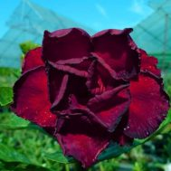 Benih Adenium Tumpuk Dangjarussang 3 Biji – Non Retail