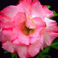Benih Adenium Tumpuk Fullmoon 3 Biji – Non Retail