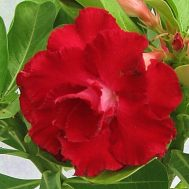 Benih Adenium Tumpuk Rustanagosin – 3 Biji