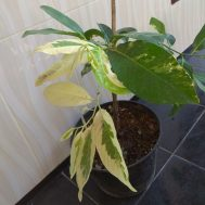Tanaman Black Sapote Variegata