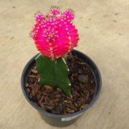 Tanaman Kaktus Gymno Shocking Pink
