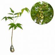 Tanaman Mimba (Neem Tree)