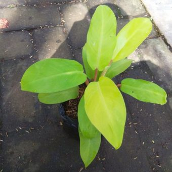 Tanaman Philodendron Golden Emerald