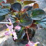 Tanaman Begonia Pink Flower