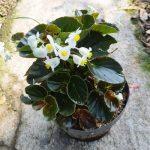 Tanaman Begonia White Flower