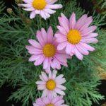 Tanaman Cosmos Pink Aster