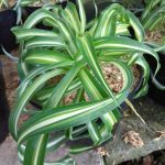 Tanaman Spider Lily Twister
