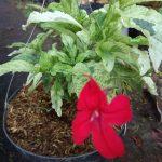 Tanaman Red Charlotte