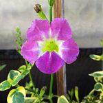 Tanaman Violet Lady