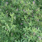 Benih Alfalfa / Rumput Alfalfa / Alfalfa Hay – 20 gram